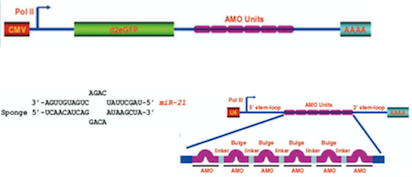The operation procedure of AcceGen MicroRNA sponge service