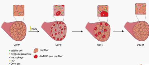 During muscle regeneration, the time course of changes in cellular composition during skeletal muscle regeneration following cardiotoxin (CTX) injury.