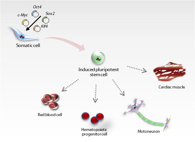 Induced Pluripotent Stem Cells – Generation and Cultivation